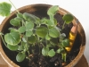 ami_seedlings_species_crimson_clover_2-4833