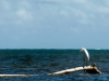 belize_egret_1_mg_1986